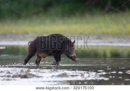 Wild Boar (sus Scrofa Ferus) Running Through Shallow Water In Forest. Wildlife In Natural Habitat