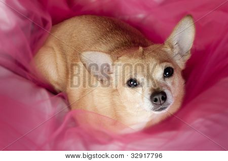 Chihuaha On Pink