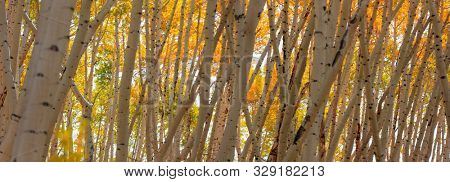 Banner of Aspen trees in autumn time near Aspen, Colorado