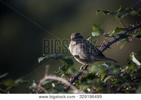 Sparrow Perched On Thorny Branch Against Dark Background
