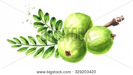 Amla Branch With Green Fruits And Leaves. Watercolor Hand Drawn Illustration Isolated On White Backg