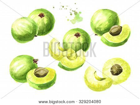 Amla Green Fruits Set. Watercolor Hand Drawn Illustration Isolated On White Background
