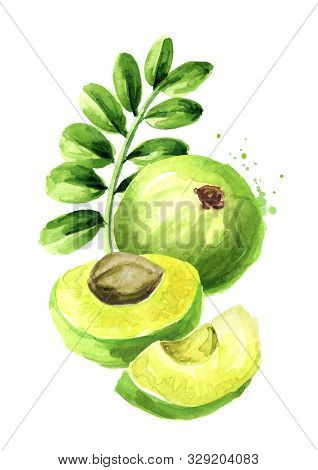 Amla Green Fruits With Leaves Watercolor Hand Drawn Illustration Isolated On White Background