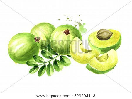Amla Green Fruits With Leaves, Watercolor Hand Drawn Illustration, Isolated On White Background