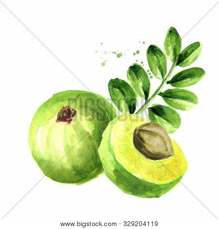 Amla Green Fruits With Leaves. Watercolor Hand Drawn Illustration Isolated On White Background