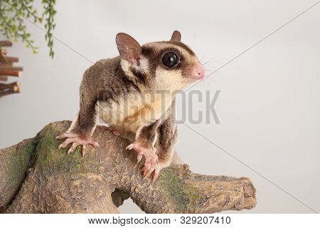 Nice Sugar Glider Mammal Rodent Pet Animal