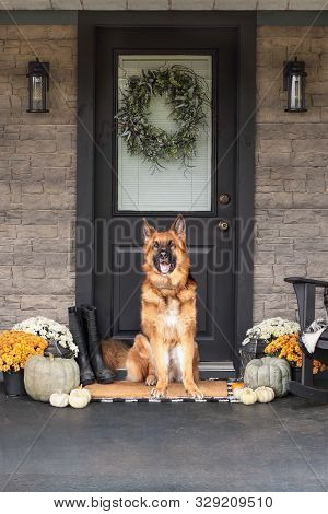 German Shepherd Dog Sitting On Front Porch Decorated For Thanksgiving Day With Homemade Wreath Hangi