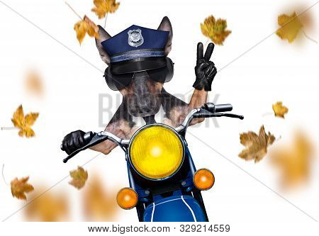 Motorcycle Diva Lady Fancy  Dog Driving A Motorbike With Sunglasses Isolated On White Background, In