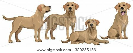 Gold Yellow Labrador Retriever. Standing And Sitting Labradors Isolated On White. The Dog Is Lying.