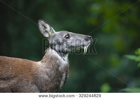 Siberian Musk Deer With Long Fangs. Close-up Portrait Of Cute Male Musk Deer With Terrible Sharp Tus
