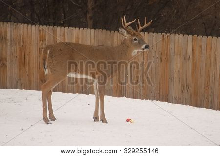A Young White Tailed Deer (buck) Standing Alone Fence Line.