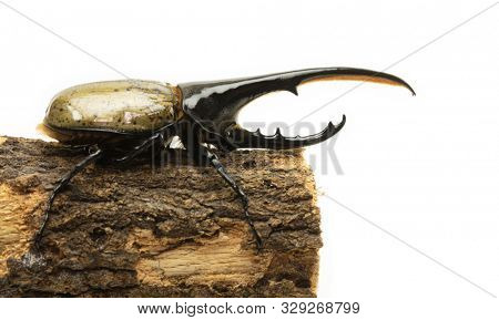 Hercules beetle  (Dynastes hercules, Dynastinae) on piece of tree, isolated on white.