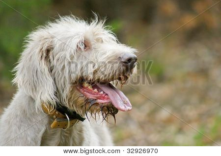 Outdoor Portrait Of A Beautiful Big Grey Pointer Dog Staring