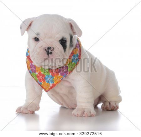 adorable English bulldog puppy wearing a flowered bandana isolated on white background