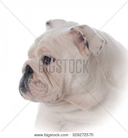 head portrait of an English bulldog isolated on white background