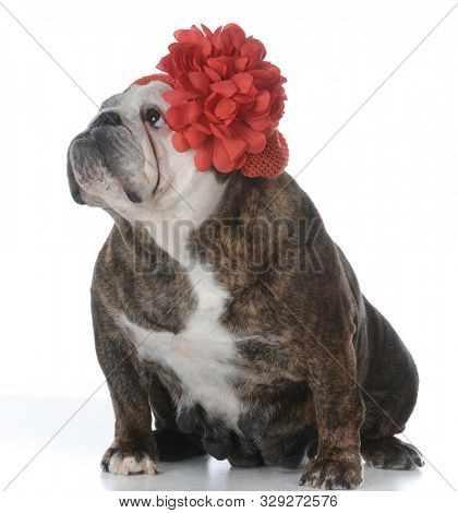female English bulldog wearing an adorable red flower hat isolated on white background