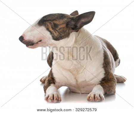 young female miniature bull terrier laying down isolated on white background