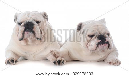 two male english bulldogs laying together isolated on white background