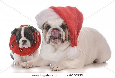 bulldog puppy and adult dressed up for Christmas isolated on white background