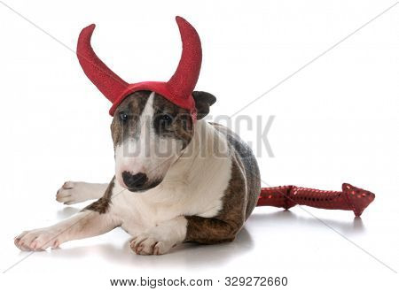 young female miniature bull terrier wearing devil horns isolated on white background