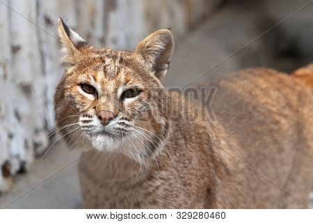 A Portrait Of A European Lynx Looking At The Camera, The Focus On A Beautiful Wet Nose.