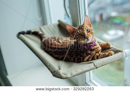 Cute Little Bengal Kitty Cat Laying On The Cats Window Bed Watching On The Street.
