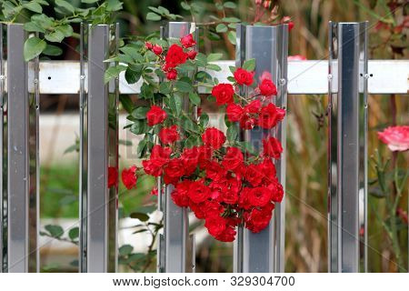 Bunch Of Beautiful Dark Red Roses Densely Growing From Single Plant Between Shiny Inox Family House