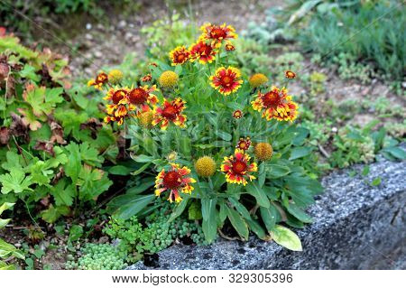 Common Gaillardia Or Gaillardia Aristata Or Common Blanketflower Or Blanketflower Or Brown-eyed Susa