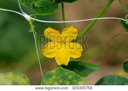 Cucumber Or Cucumis Sativus Creeping Vine Plant With Bright Yellow Fully Open Flower Growing In Loca