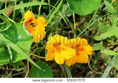 Garden Nasturtium Or Tropaeolum Majus Or Indian Cress Or Monks Cress Flowering Annual Plant With Dis