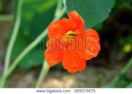 Single Garden Nasturtium Or Tropaeolum Majus Or Indian Cress Or Monks Cress Flowering Annual Plant W