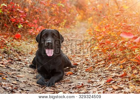 Beautiful Black Labrador Retriever Lies Against An Autumnal Forest. Canine Background