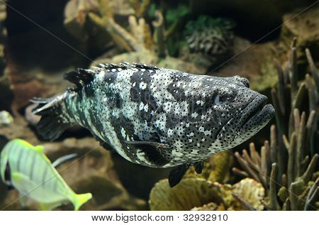 Blacksaddled Coralgrouper Fish