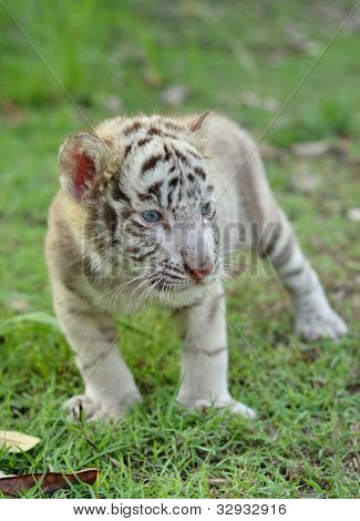 baby white bengal tiger standing on green grass poster