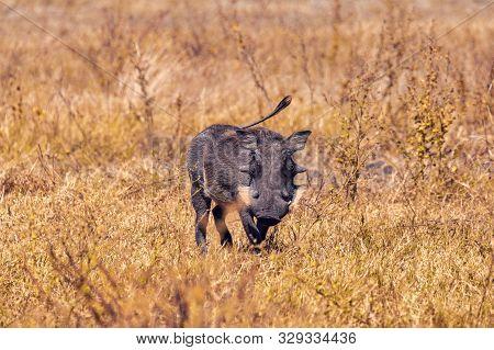 African Pig Warthog In Chobe Game Reserve Savannah, Botswana Africa Safari Wildlife