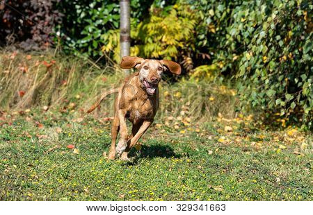 Photo Of A Hungarian Vizsla Dog Running Towards To The Camera. Old Dog With Grizzled Fur, But Still