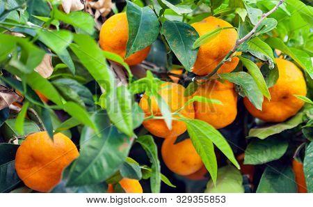 Ripe Juicy Sweet Orange Mandarins On A Tree In The Mandarin Orchard.