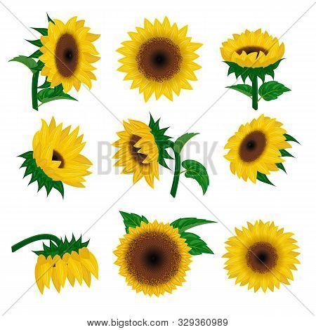 Sunflower Vector Yellow Summer Flower Nature, Flower And Floral Blossom Plant Illustration Flowery S