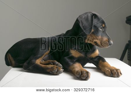Doberman Puppy Dog Three Months Old Is Lying On The Table