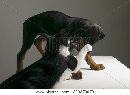 On The Table Is A Three-month-old Doberman Puppy, And The Cat Beats Him With His Paw.
