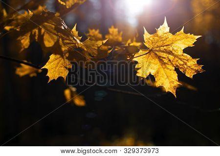 Bright Autumn Mapple Leaves On Dark Background, Beautiful Lighting