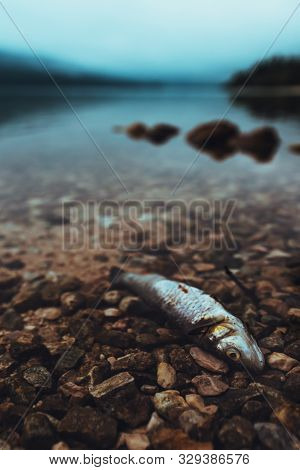 Dead Fish On The Lakeshore In Misty Morning, Selective Focus With Shallow Depth Of Field