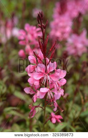 Pink Gaura Flower - Latin Name - Oenothera Lindheimeri (gaura Lindheimeri)