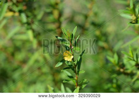Shrubby Yellowcrest Flower - Latin Name - Heimia Salicifolia