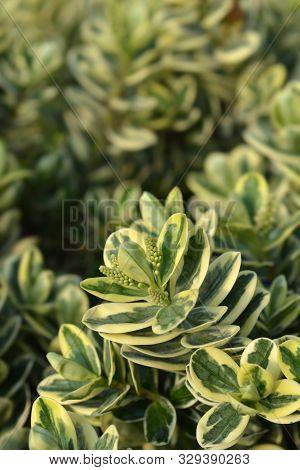 Variegated Hebe Leaves And Flowr Buds - Latin Name - Hebe Variegata
