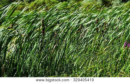 Reed Seeds. Reed Grass In The Fall In The Sun. Abstract Natural Background. Closeup Image. Reed Gras