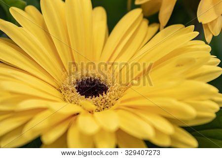 Gerbera Jamesonii, Gerbera Daisy, Transvaal Daisy, Clump Forming Perennial With Basal Rosette Of Dar
