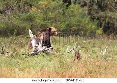 A Huge Adult, Female Grizzly Bear (ursus Arctos) Climbing Over A Fallen Tree Between Grazing On Sedg