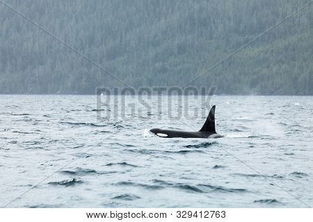 The Dorsal Fin Of A Large And Impressive Orca Or Killer Whale (orcinus Orca) Breaking The Surface Of