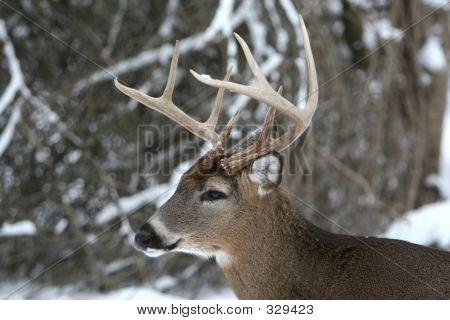 8 Point Buck Deer In The Snow